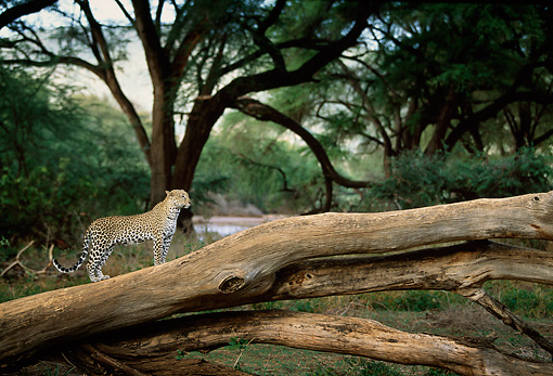 LEP 60 DB0015 01 © Kimball Stock Leopard Standing On Log In Forest In Africa