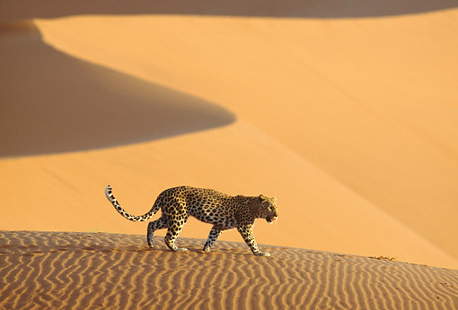 LEP 60 DB0017 01 © Kimball Stock Leopard Walking On Sand Dune In Desert Africa
