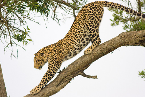 LEP 60 RW0003 01 © Kimball Stock African Leopard Stretching On Tree Limb Kenya
