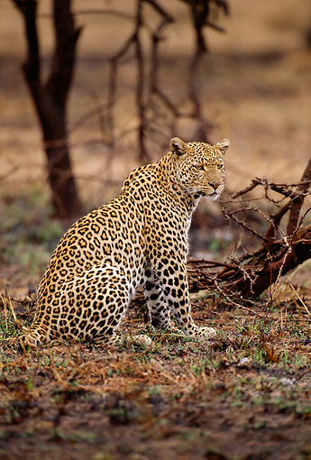 LEP 60 TL0001 01 © Kimball Stock Portrait Of Leopard Sitting On Dry Plain Near Tree Africa