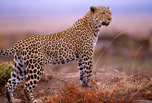 LEP 60 TL0003 01 © Kimball Stock Profile Of Leopard Standing On Dirt Mound Africa
