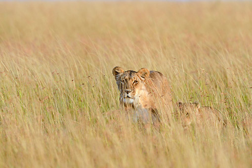 LNS 01 AC0005 01 © Kimball Stock Lioness Walking With Cub