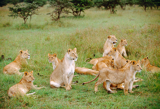 LNS 01 BA0002 01 © Kimball Stock African Lioness And Cubs Sitting In Field
