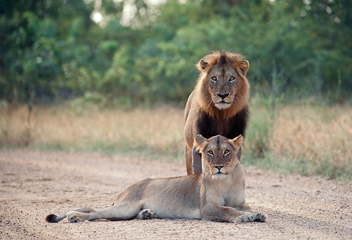 LNS 01 BA0004 01 © Kimball Stock Male And Female African Lions Standing And Laying On Dirt Road By Meadow