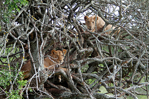 LNS 01 DB0025 01 © Kimball Stock African Lionesses Relaxing In Tree In Kenya