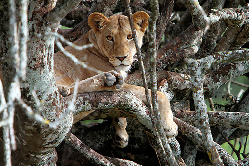 LNS 01 DB0026 01 © Kimball Stock Close-Up Of African Lioness Relaxing In Tree In Kenya