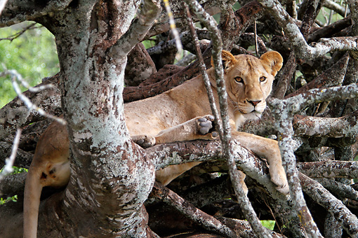 LNS 01 DB0027 01 © Kimball Stock Close-Up Of African Lioness Relaxing In Tree In Kenya