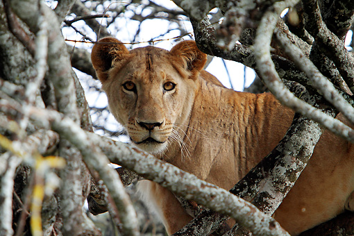 LNS 01 DB0028 01 © Kimball Stock Close-Up Of African Lioness Relaxing In Tree In Kenya