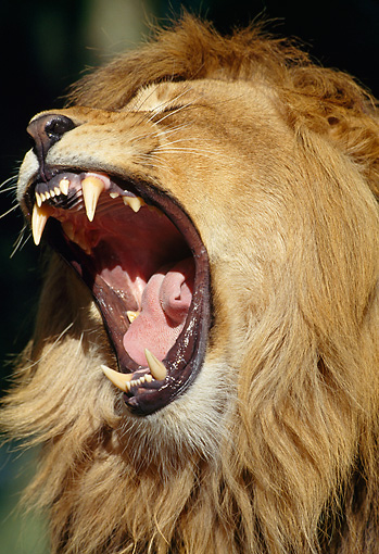 LNS 01 GL0001 01 © Kimball Stock Head Shot Of Male Lion Roaring