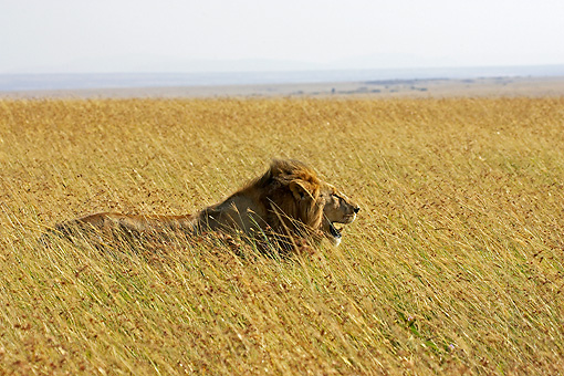 LNS 01 GL0007 01 © Kimball Stock Male Lion Standing In Tall Grass Kenya