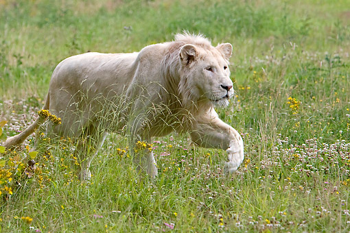 LNS 01 GL0009 01 © Kimball Stock White Lion Male Walking Through Tall Grass