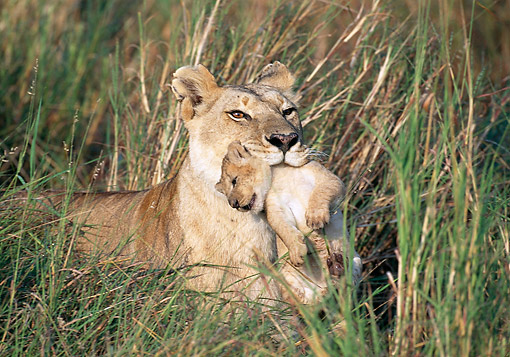 LNS 01 GL0013 01 © Kimball Stock African Lioness Holding Cub In Mouth Kenya