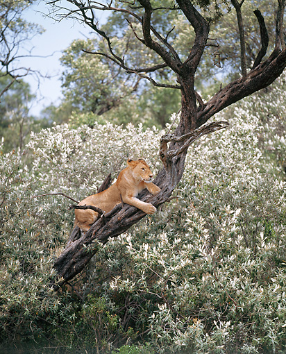 LNS 01 JZ0011 01 © Kimball Stock African Lioness Resting On Tree