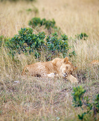 LNS 01 JZ0012 01 © Kimball Stock African Lioness Sleeping In Savanna
