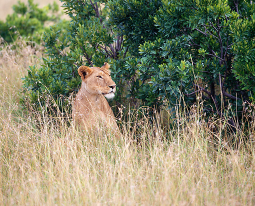 LNS 01 JZ0013 01 © Kimball Stock African Lioness Sitting In Tall Grass In Savanna