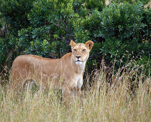 LNS 01 JZ0014 01 © Kimball Stock African Lioness Standing In Tall Grass In Savanna