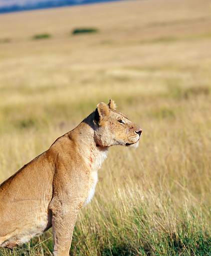 LNS 01 JZ0015 01 © Kimball Stock Portrait Of African Lioness Sitting In Savanna