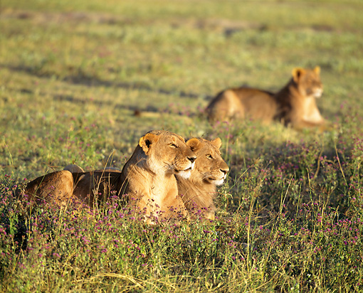 LNS 01 JZ0016 01 © Kimball Stock Portrait Of African Lionesses Laying In Savanna