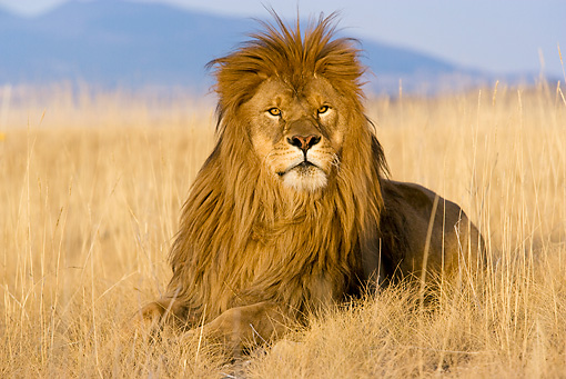 LNS 01 KH0005 01 © Kimball Stock Lion Laying In Dry Grass In South Africa