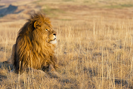 LNS 01 KH0006 01 © Kimball Stock Lion Laying In Dry Grass In South Africa