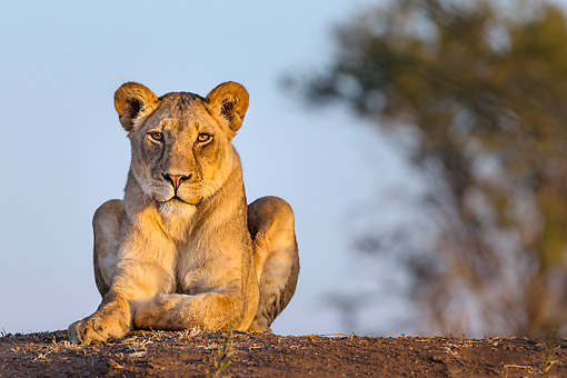 LNS 01 KH0009 01 © Kimball Stock Lioness Laying In Botswana