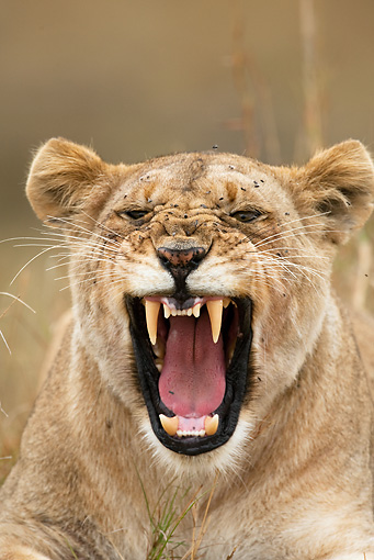 LNS 01 MC0002 01 © Kimball Stock Head Shot Of African Lioness Yawning And Resting Kenya