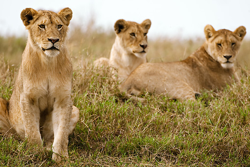 LNS 01 MC0010 01 © Kimball Stock African Lion Females Resting In Grasslands Tanzania