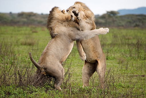 LNS 01 MC0011 01 © Kimball Stock African Lion Males Fighting In Grasslands Tanzania