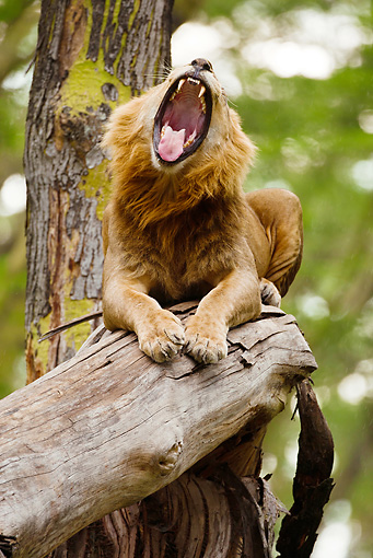 LNS 01 MC0012 01 © Kimball Stock African Lion Male Yawning In Tree Kenya