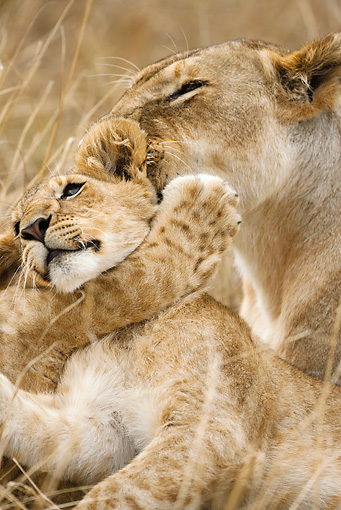 LNS 01 MC0017 01 © Kimball Stock Close-Up Of African Lioness Grooming Cub Kenya