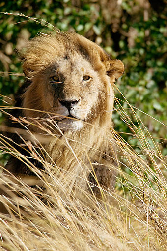 LNS 01 MC0018 01 © Kimball Stock African Lion Male Peering Through Tall Grass Kenya