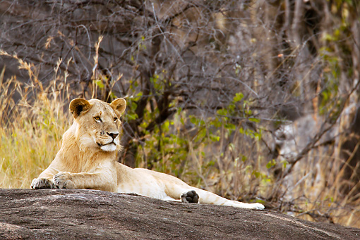 LNS 01 MC0019 01 © Kimball Stock African Lioness Resting On Rock Kenya