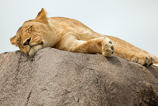 LNS 01 MC0020 01 © Kimball Stock African Lioness Sleeping On Rock Kenya