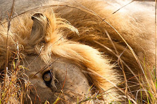 LNS 01 MC0037 01 © Kimball Stock Close-Up Of African Lion Male Resting On Grass In Masai Mara Game Reserve, Kenya
