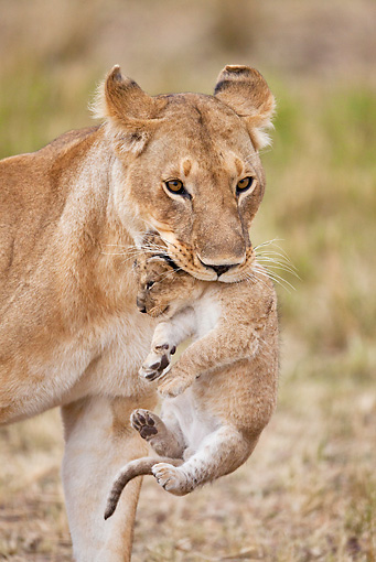 LNS 01 MH0001 01 © Kimball Stock Portrait Of Lioness Carrying Cub Kenya