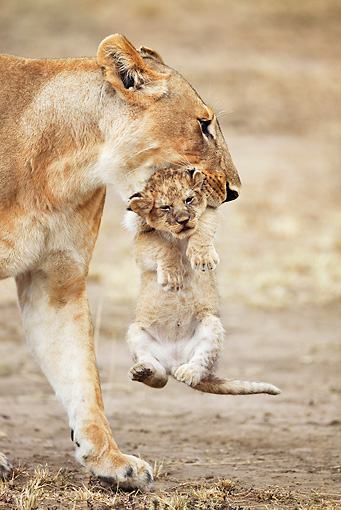 LNS 01 MH0002 01 © Kimball Stock Portrait Of Lioness Carrying Cub Kenya