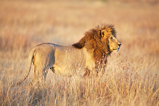 LNS 01 MH0003 01 © Kimball Stock Male Lion Standing On Plains Kenya