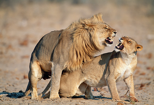 LNS 01 MH0005 01 © Kimball Stock Lions Mating In Savanna Namibia