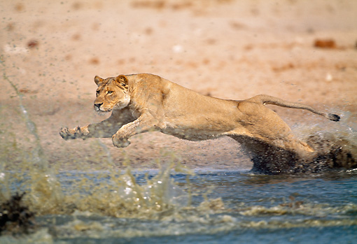 LNS 01 MH0006 01 © Kimball Stock Lioness Leaping Over Watering Hole Namibia