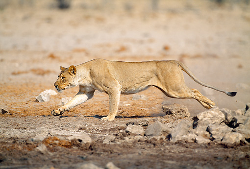 LNS 01 MH0007 01 © Kimball Stock Lioness Running Through Savanna Namibia