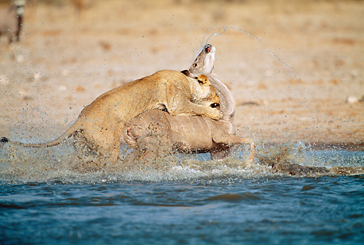 LNS 01 MH0008 01 © Kimball Stock Lioness Killing Kudu In Watering Hole Namibia