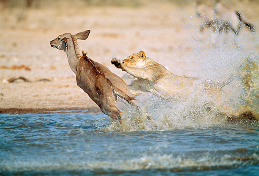 LNS 01 MH0009 01 © Kimball Stock Lioness Attacking Kudu In Watering Hole Namibia