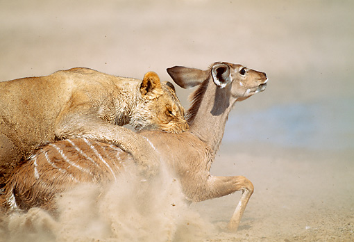 LNS 01 MH0010 01 © Kimball Stock Close-Up Of Lioness Attacking Kudu In Savanna Namibia