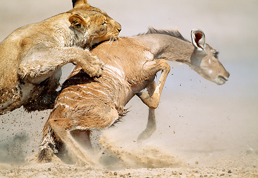 LNS 01 MH0011 01 © Kimball Stock Close-Up Of Lioness Attacking Kudu In Savanna Namibia