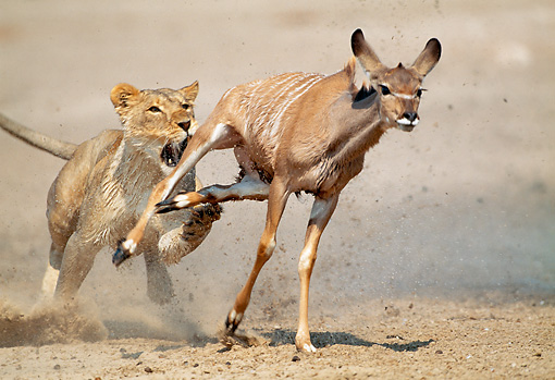 LNS 01 MH0012 01 © Kimball Stock Lioness Attacking Kudu In Savanna Namibia