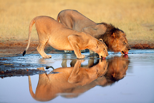 LNS 01 MH0013 01 © Kimball Stock Male And Female Lions Drinking From Watering Hole Botswana