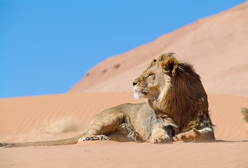 LNS 01 NE0012 01 © Kimball Stock African Lion Male Laying On Sand