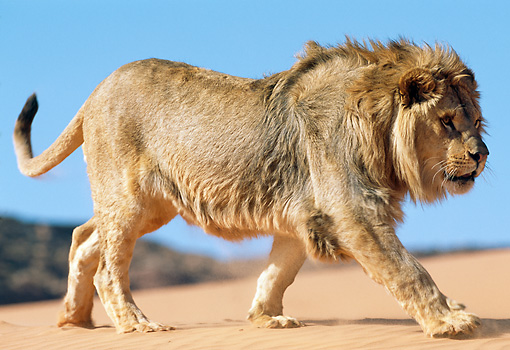 LNS 01 NE0013 01 © Kimball Stock African Lion Male Walking On Sand