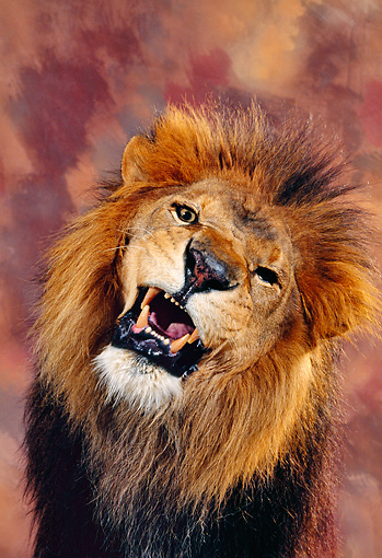 LNS 01 RK0007 28 © Kimball Stock Close Up Head Shot Of Fierce Lion Snarling Facing Camera