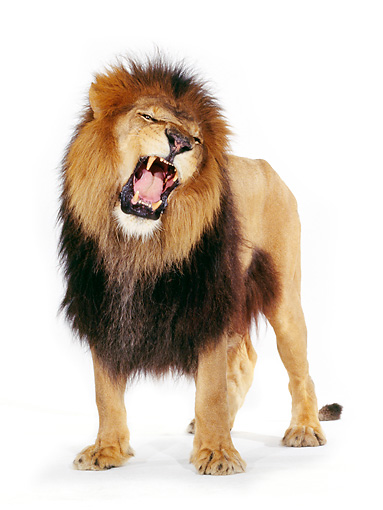 LNS 01 RK0020 01 © Kimball Stock Full Body Shot Of Lion Standing And Facing Camera Growling On White Seamless